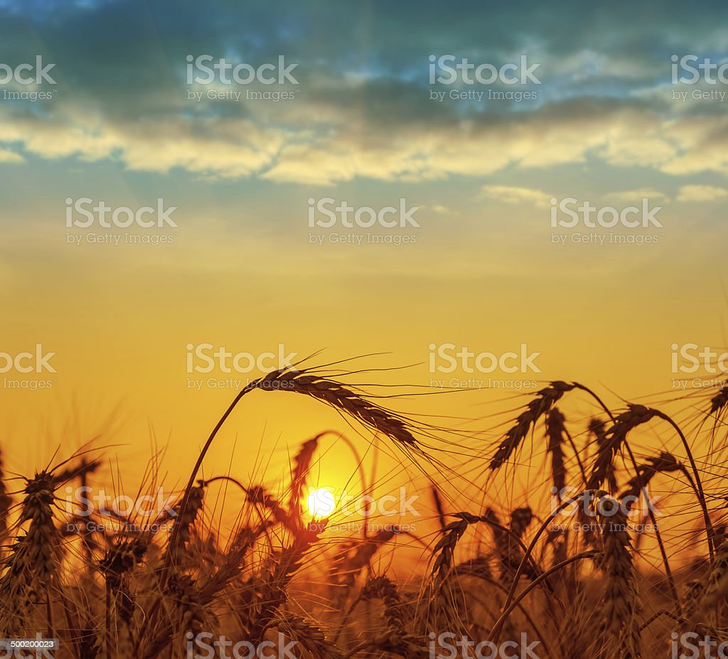field with harvest at sunset stock photo