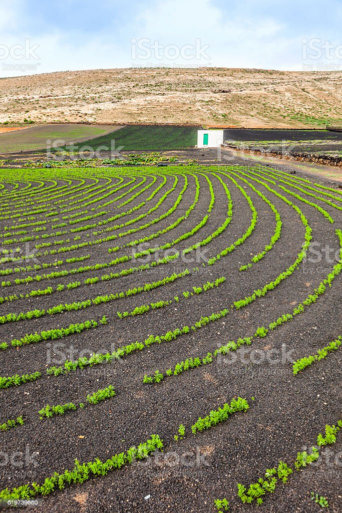 field with irrigation system on volcanic lapilli stock photo