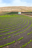 field with irrigation system on volcanic lapilli