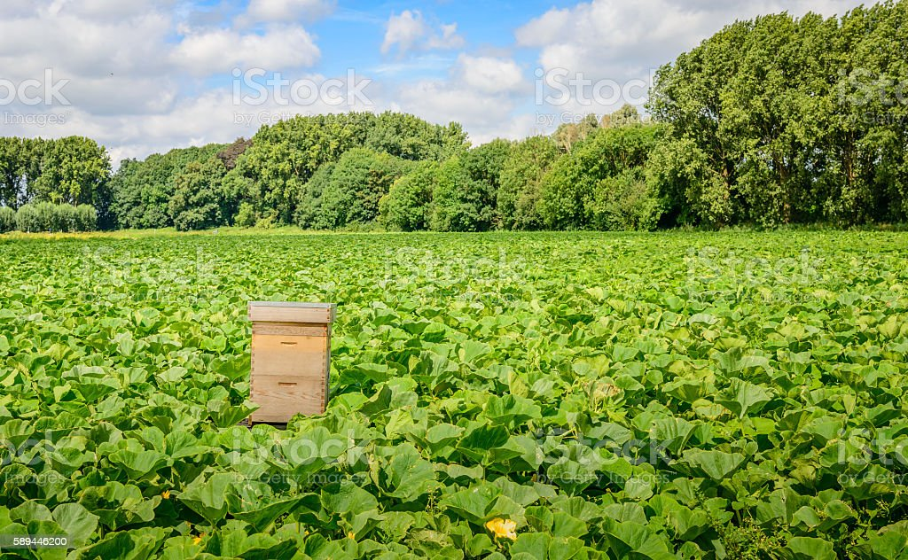 Field with organic pumpkin cultivation and a beehive stock photo