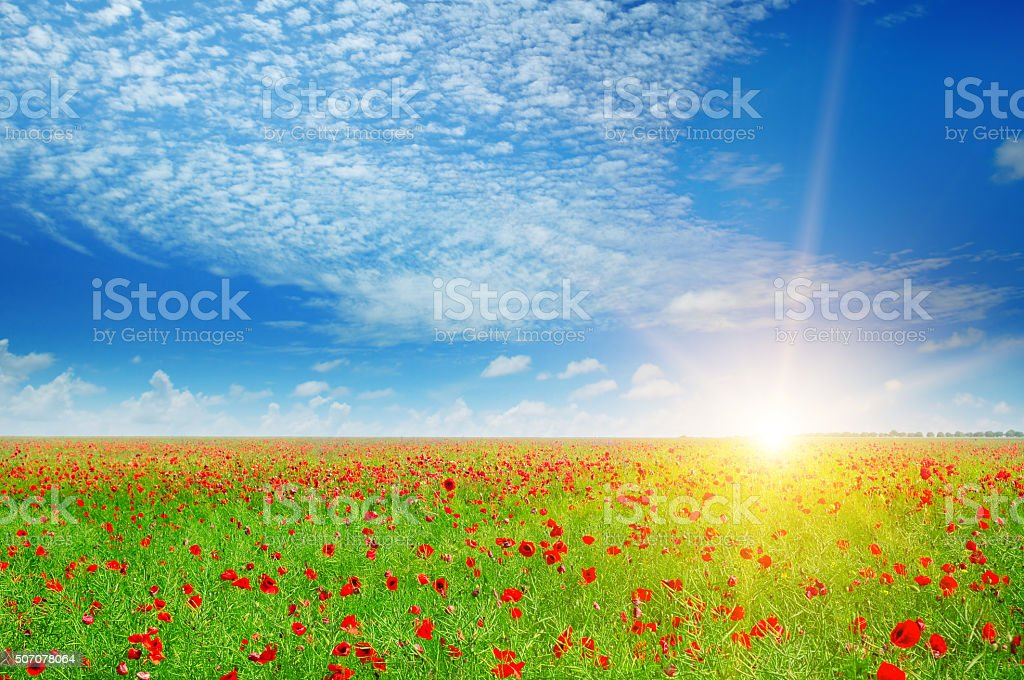 field with poppies and sun stock photo