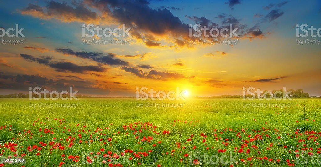 Field with poppies and sunrise stock photo