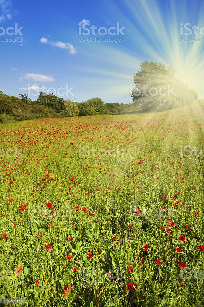 Field with poppy flowers stock photo