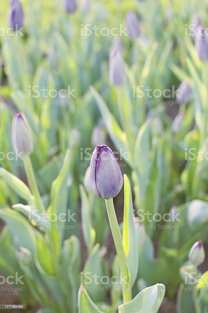 Field with purple tulips stock photo