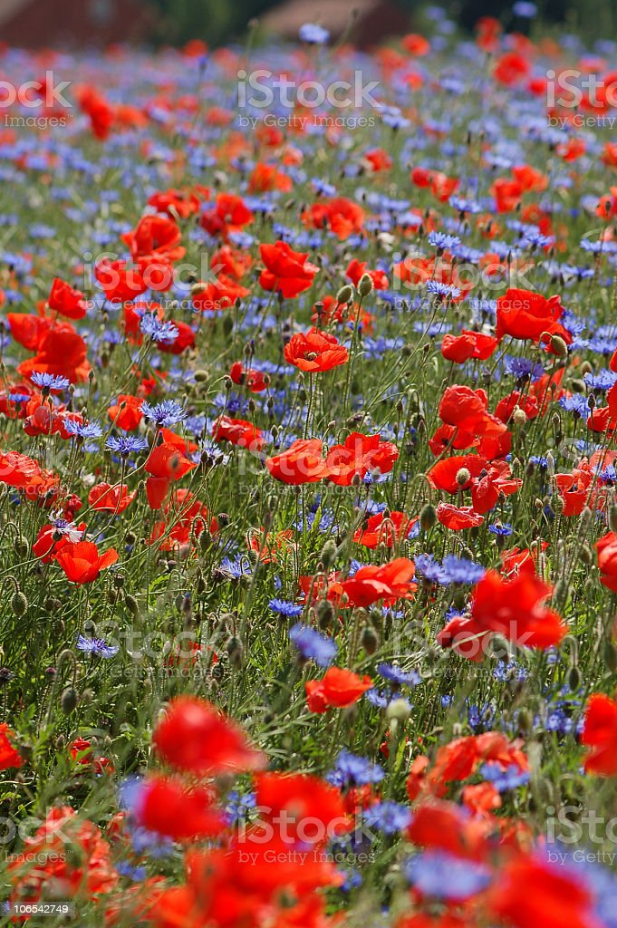 field with red and blue Corn Poppy royalty-free stock photo