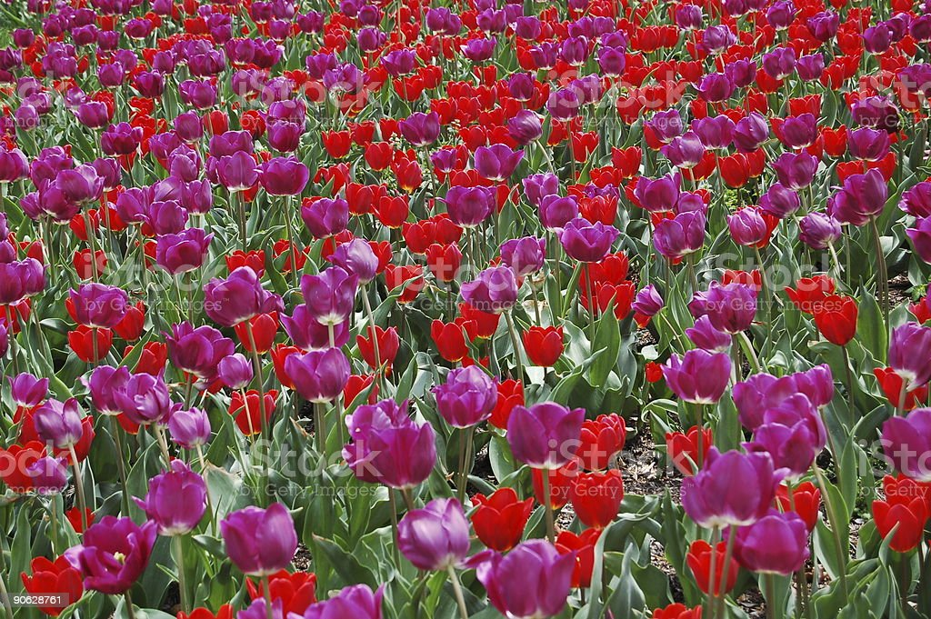 field with red and purple tulips royalty-free stock photo