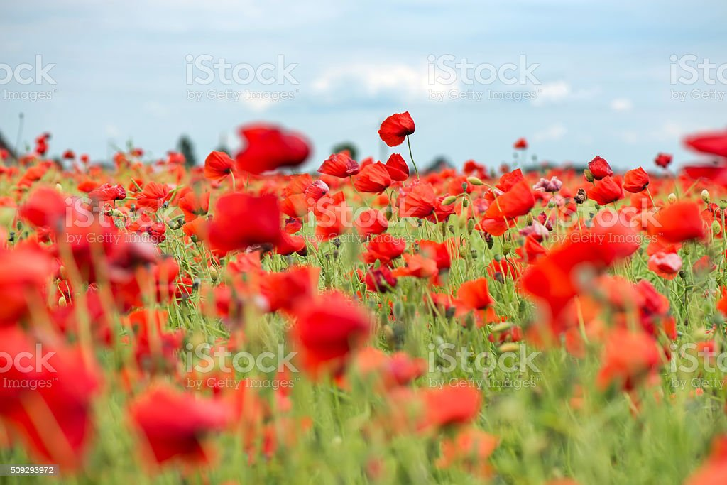 Field with red papavers stock photo