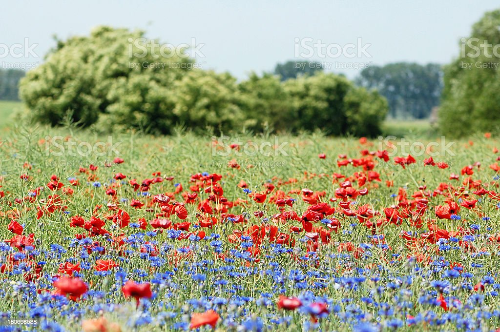 field with red poppies and blue cornflowers royalty-free stock photo