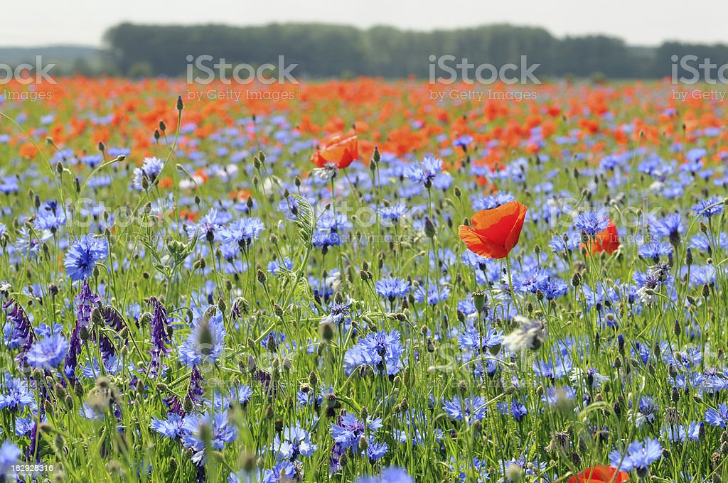 field with red poppies and blue cornflowers stock photo