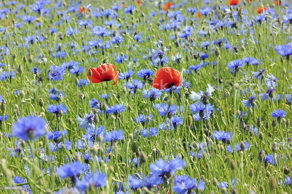 field with red Poppy and blue Corn flower - Mohnblumenfeld royalty-free stock photo