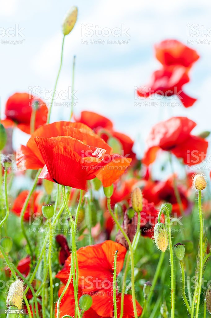 Field with red translucent poppy flowers in rays of sunlight. stock photo