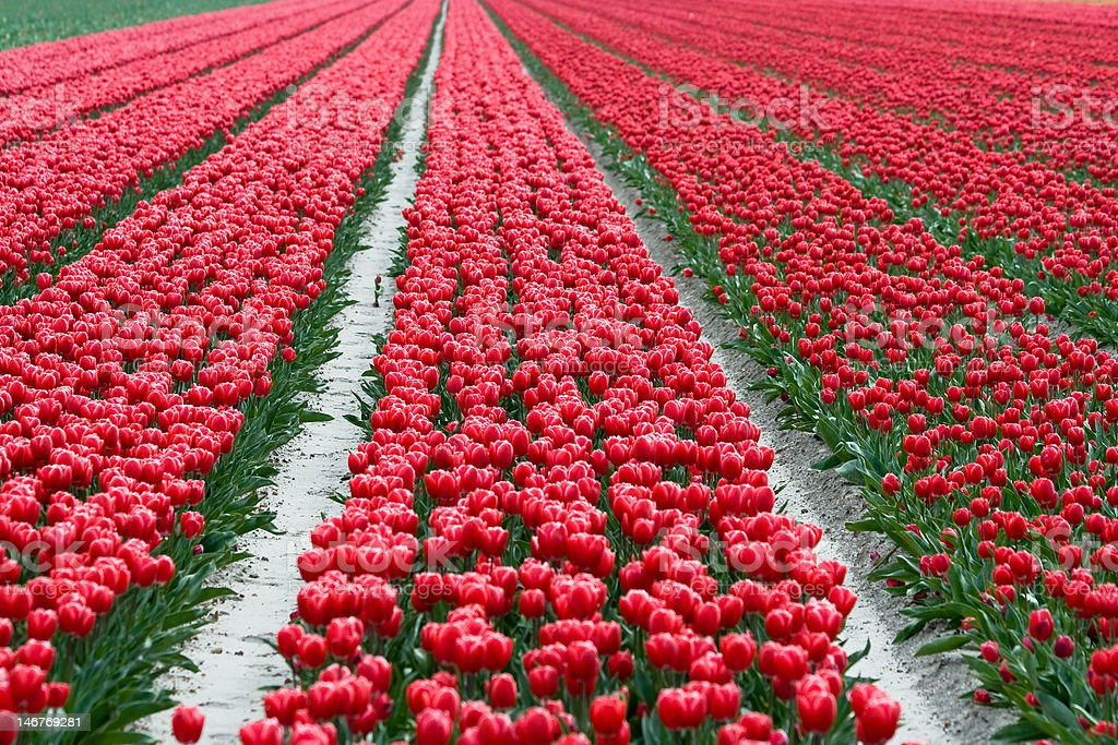 Field with red tulips royalty-free stock photo