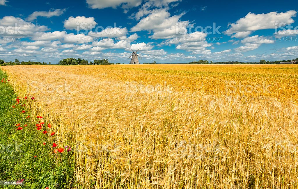 Field with ripening wheat stock photo