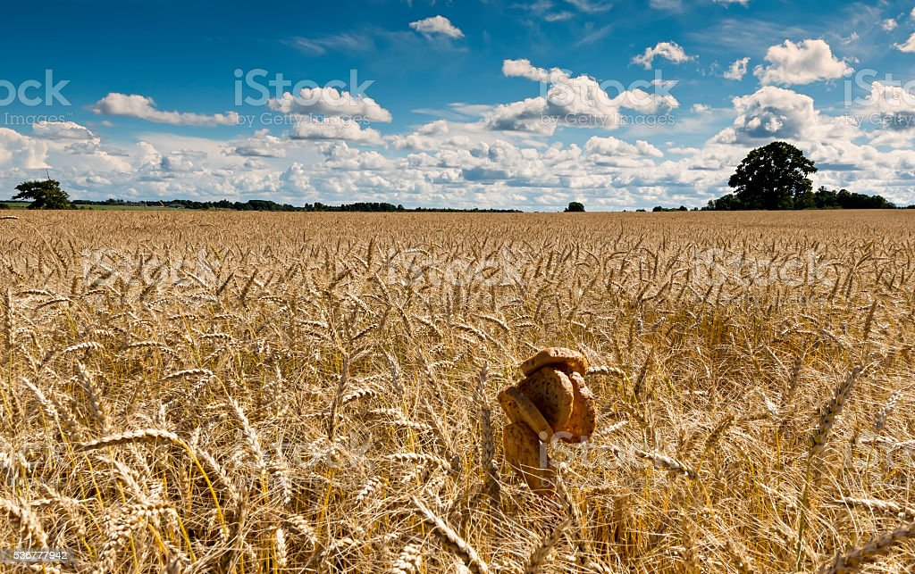 Field with ripening wheat with rounds of bread stock photo