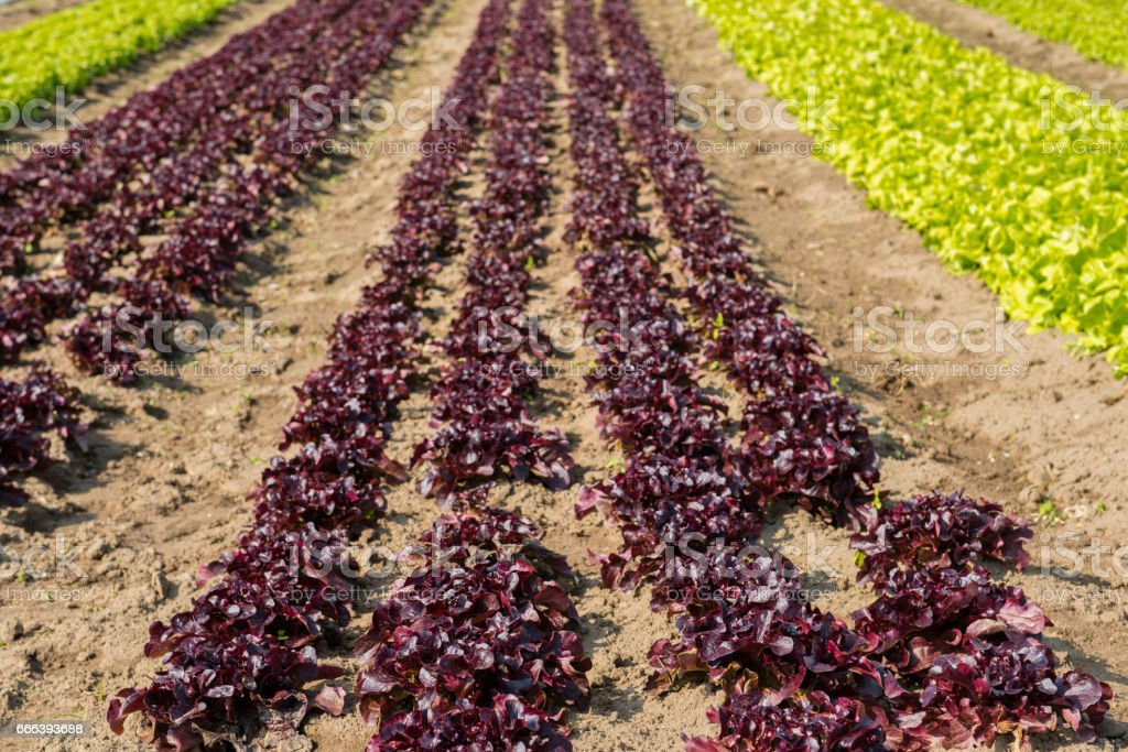 field with salad stock photo