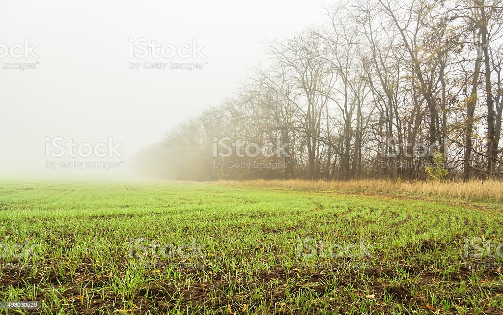Field with sprouts of winter wheat stock photo
