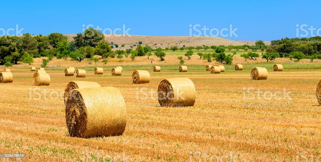 field with straw bales after harvest as background stock photo