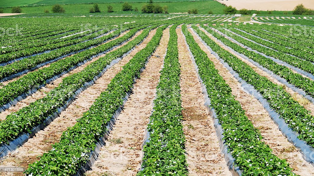 Field with strawberry plants growing in spring, Belgium stock photo