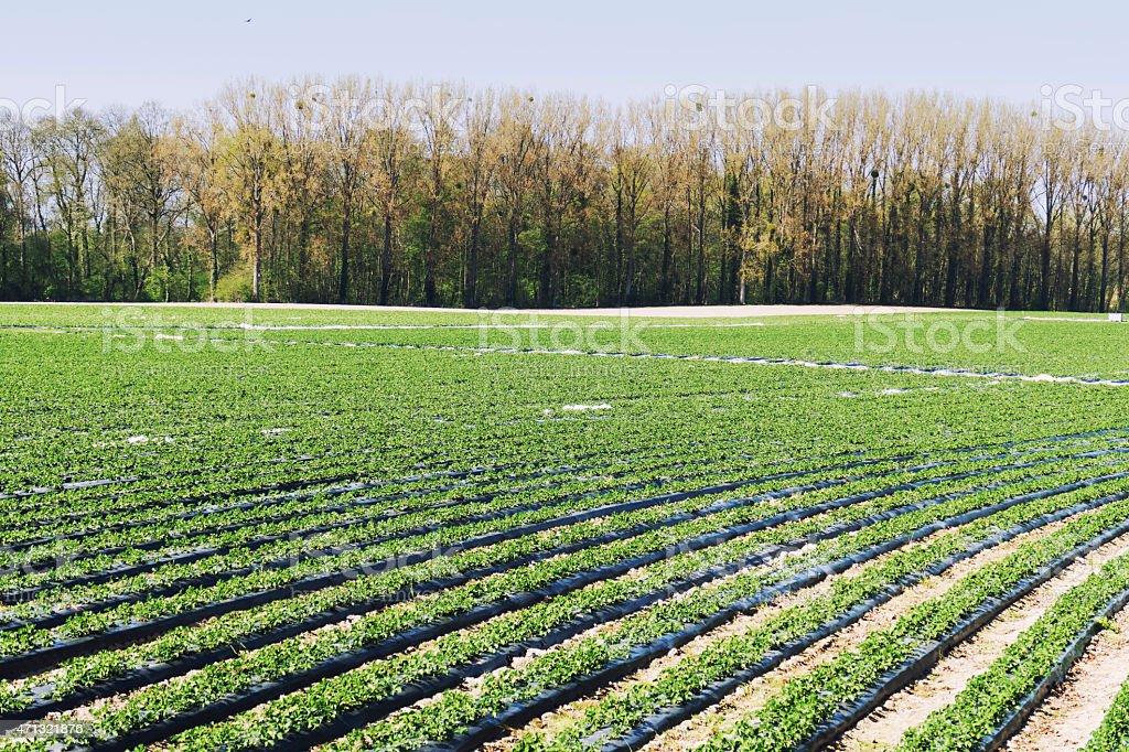Field with strawberry plants in Haspengouw, Limburg,Belgium stock photo