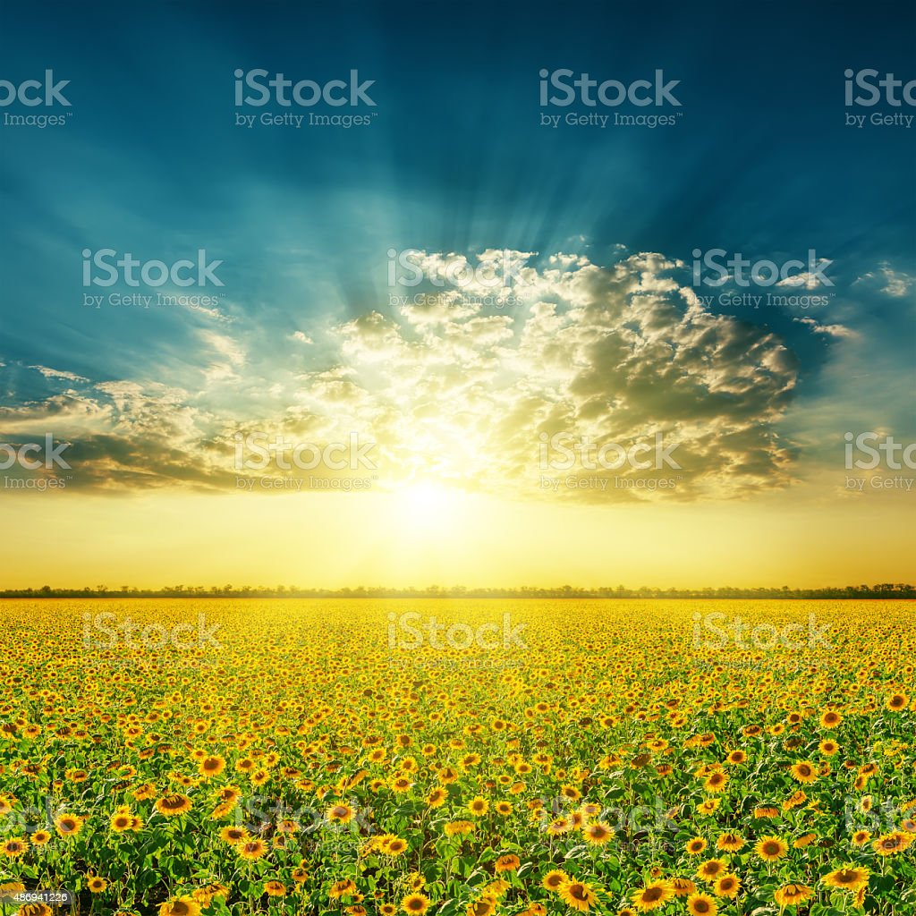 field with sunflowers and sunset in clouds stock photo