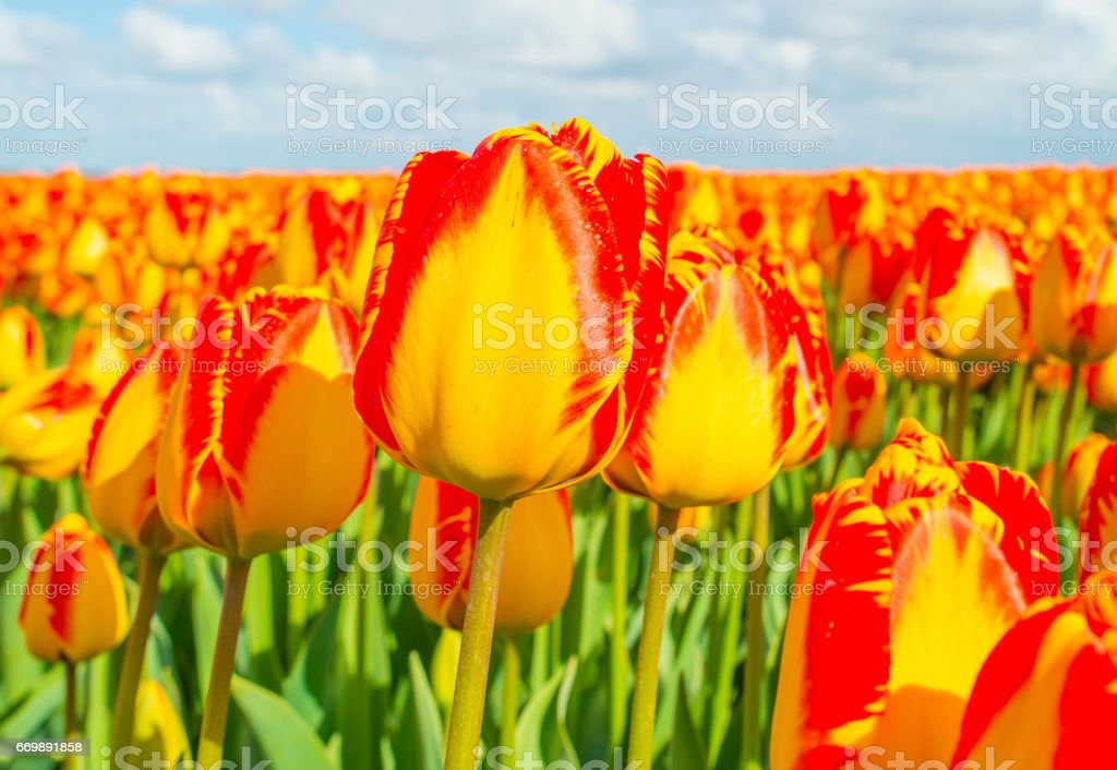 Field with tulips below a blue cloudy sky in spring stock photo