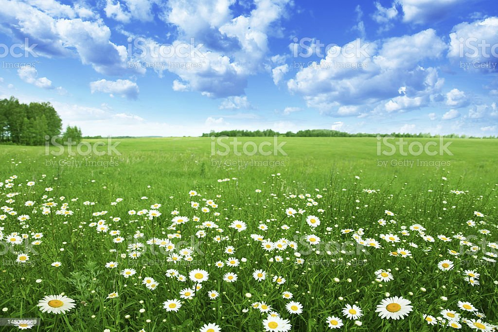 Field with white daisies under blue sky. stock photo