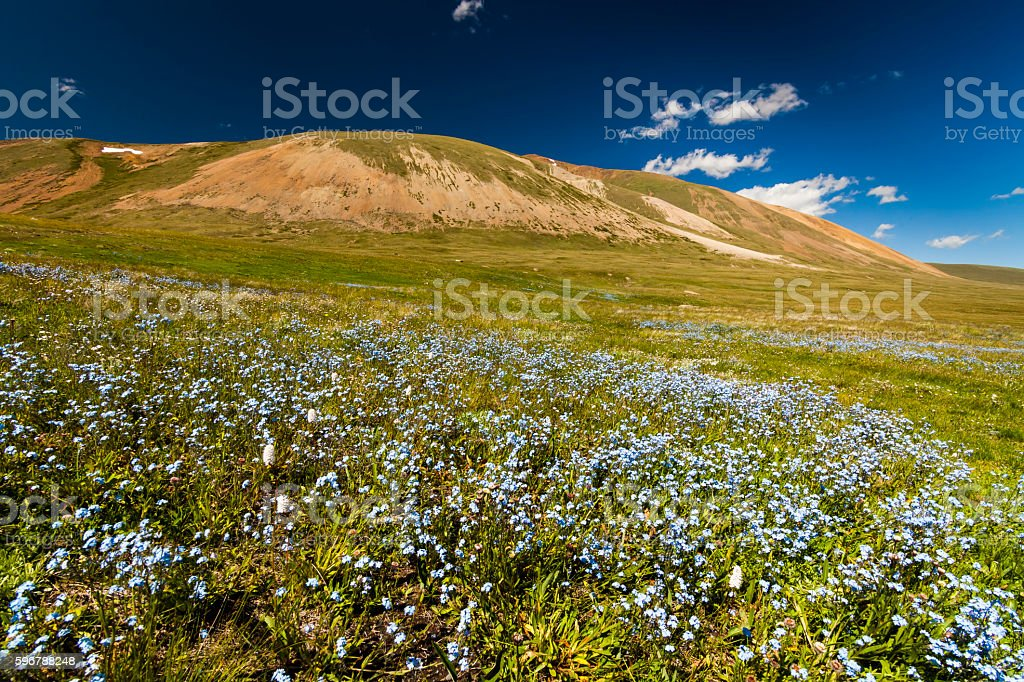 Field with wild flowers and mountains on the background. Bloomin stock photo