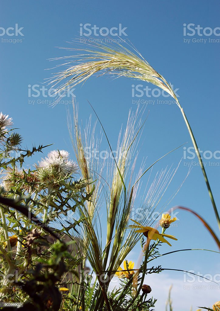Field with wildflowers and barley. royalty-free stock photo