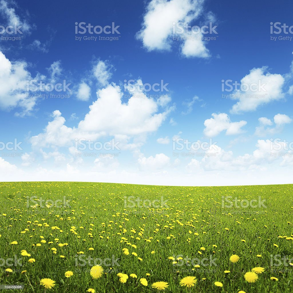 Field with yellow spring flowers and a cloudy sky royalty-free stock photo
