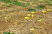 Field with Yellow Squash in Israel