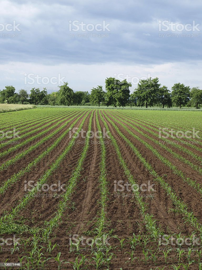 field with young Zea mays and cherry trees royalty-free stock photo