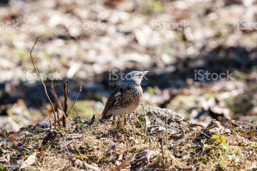 fieldfare in early spring stock photo