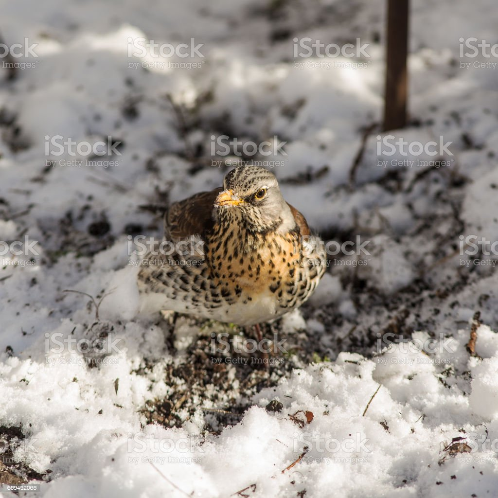Fieldfare in the spring stock photo