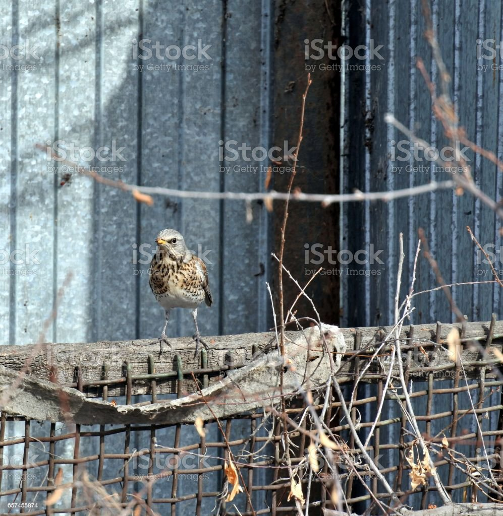Fieldfare on the fence stock photo