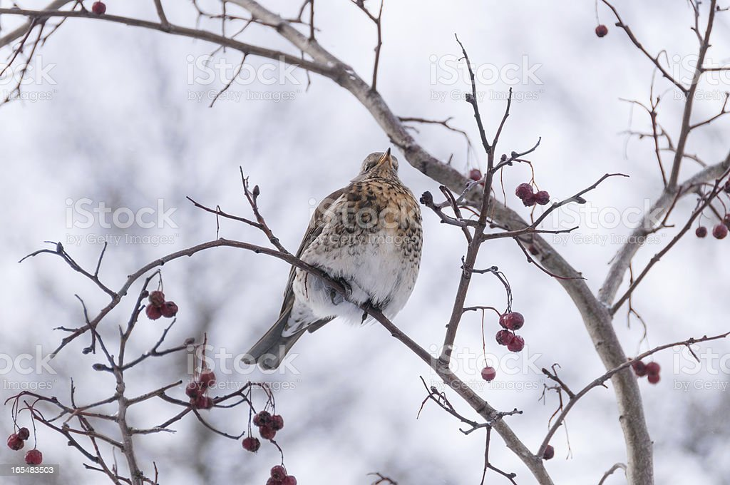 Fieldfare sits on crataegus branch with red berries in winter royalty-free stock photo
