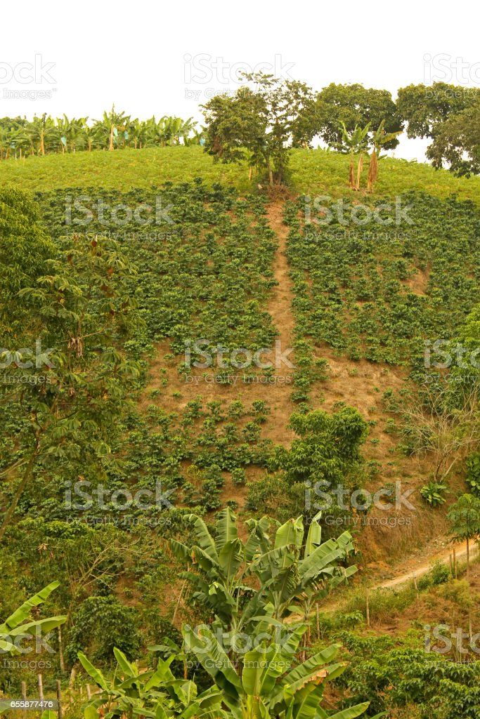Fields and coffee plantations in the Colombian Andes. Colombia stock photo