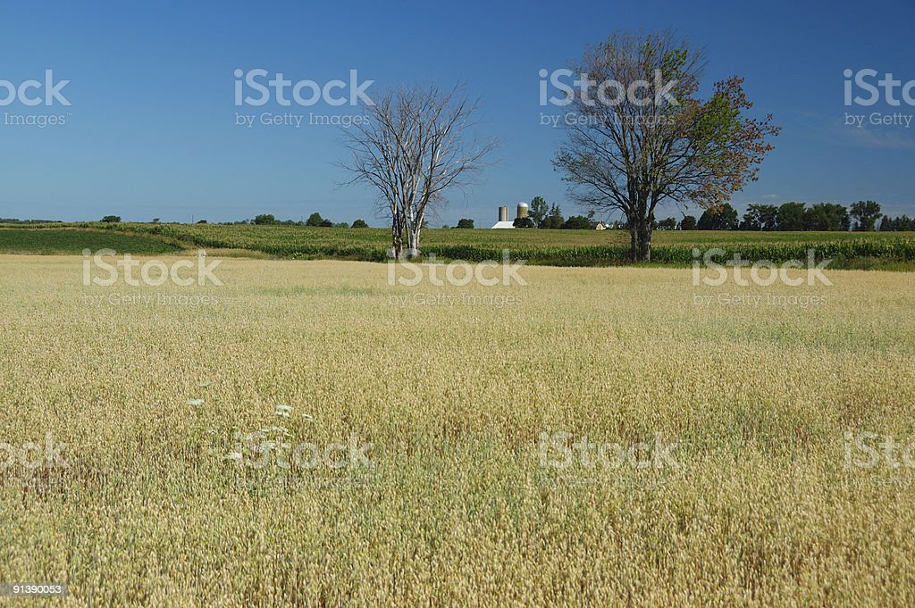Fields of barley in Ontario countryside stock photo