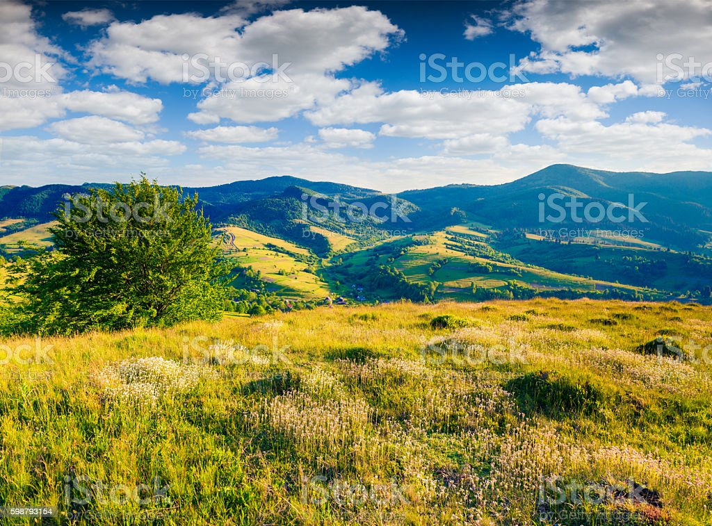 Fields of blooming white flowers in the summer mountains. stock photo