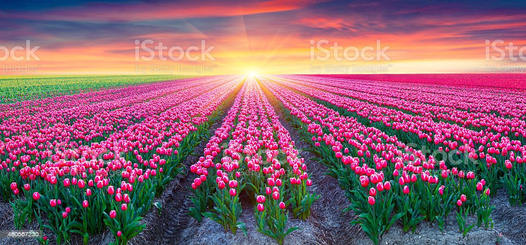 Fields of blooming white tulips at sunrise stock photo