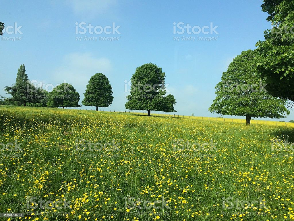 Fields of Butter Cups stock photo