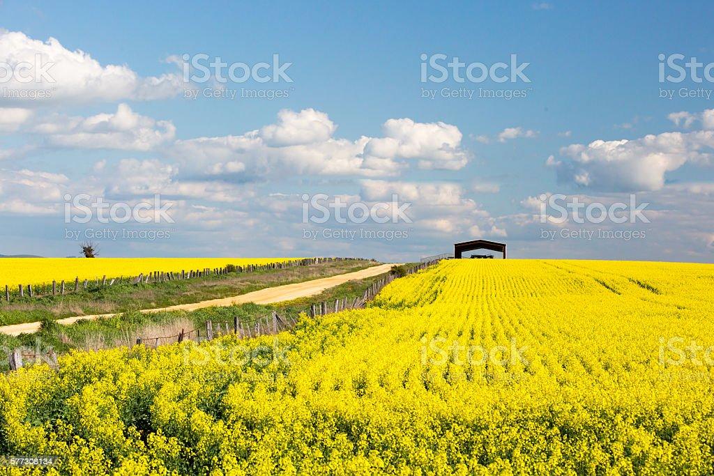 Fields of Canola in Australia stock photo