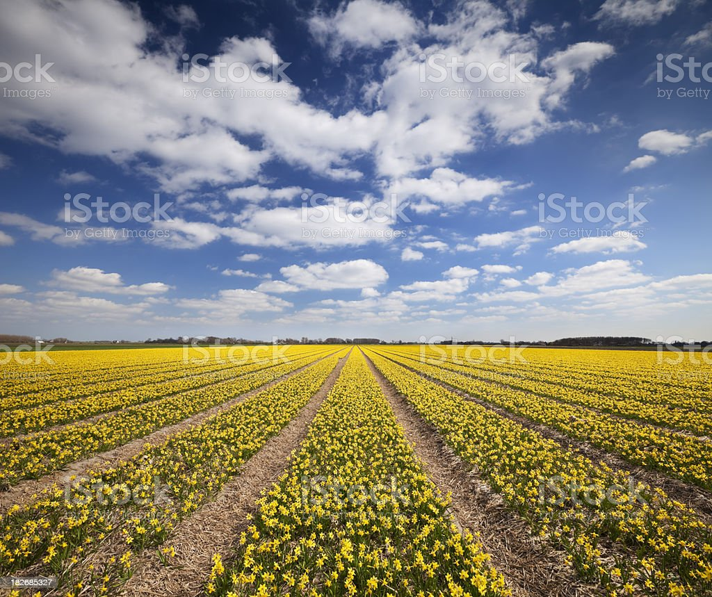 Fields of daffodils on a sunny day in The Netherlands royalty-free stock photo