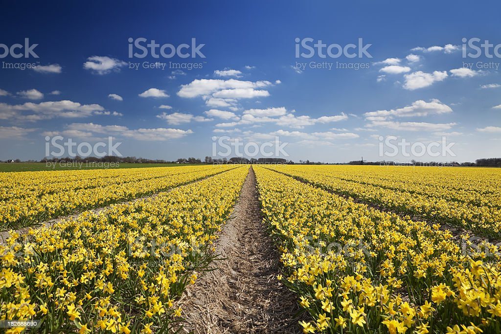 Fields of daffodils on a sunny day in The Netherlands stock photo