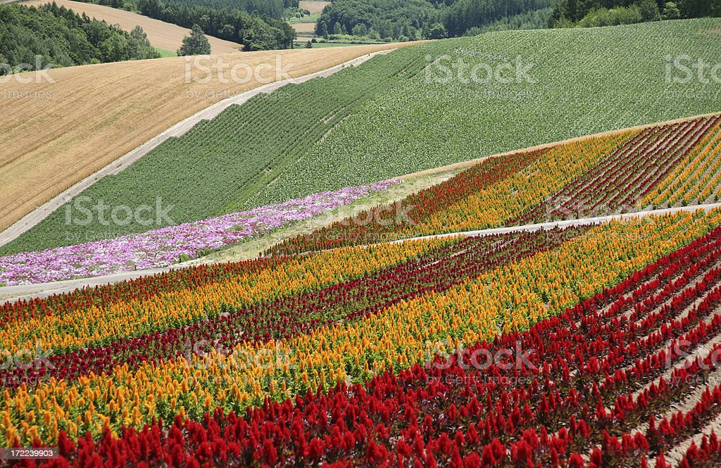 Fields of Flowers royalty-free stock photo