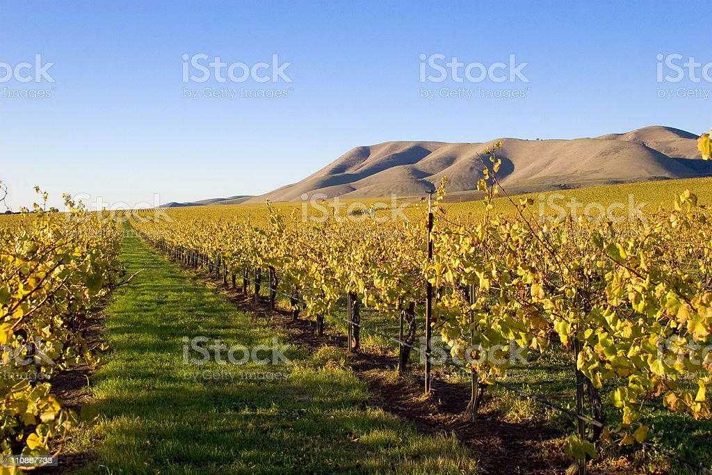 Fields of Grape Vines royalty-free stock photo