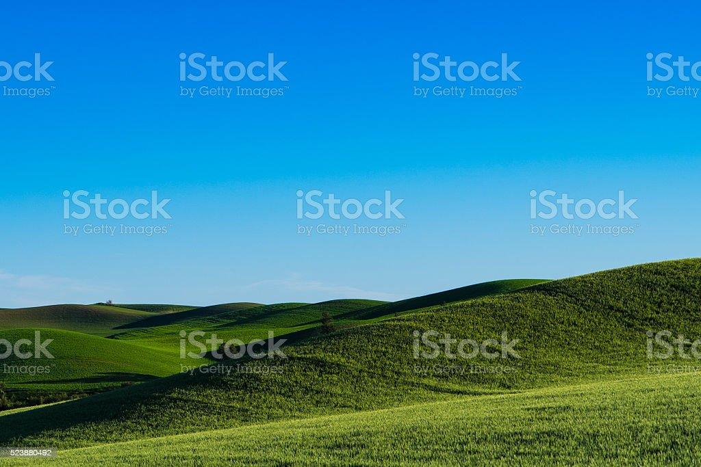Fields of green wheat in Eastern Washington state stock photo