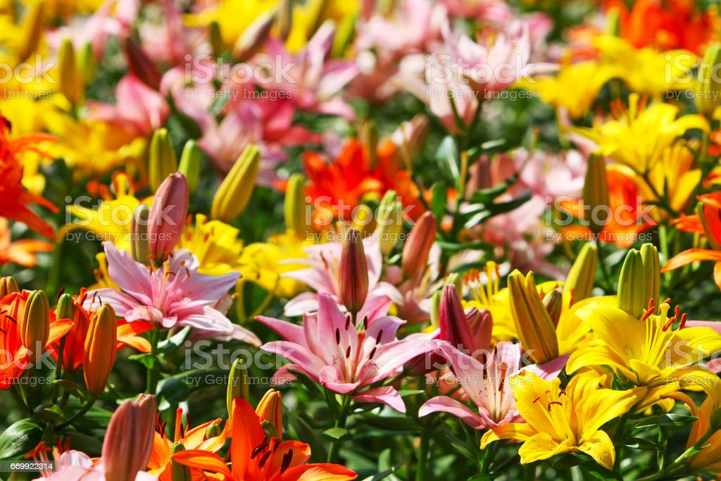 Fields of magnificent flowering lilies stock photo