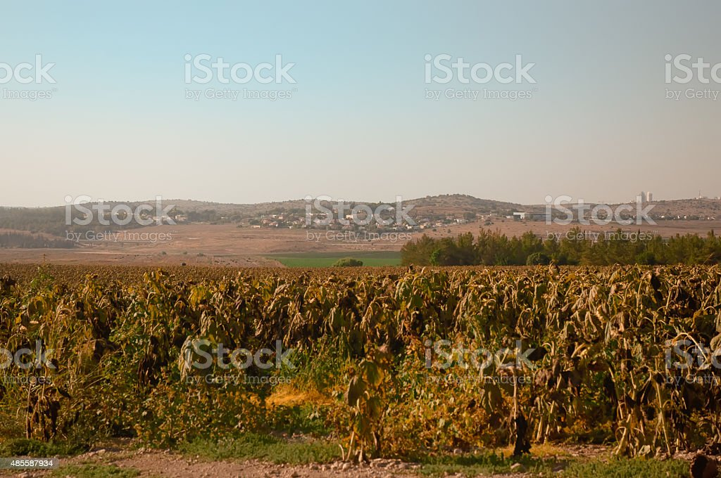 Fields of ripe sunflowers under Ierusaimom  . Israel . stock photo