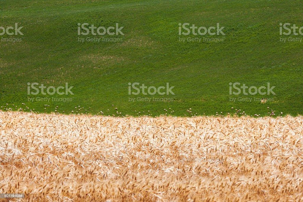 Fields of Ripe Wheat at Tuscany, Italy stock photo