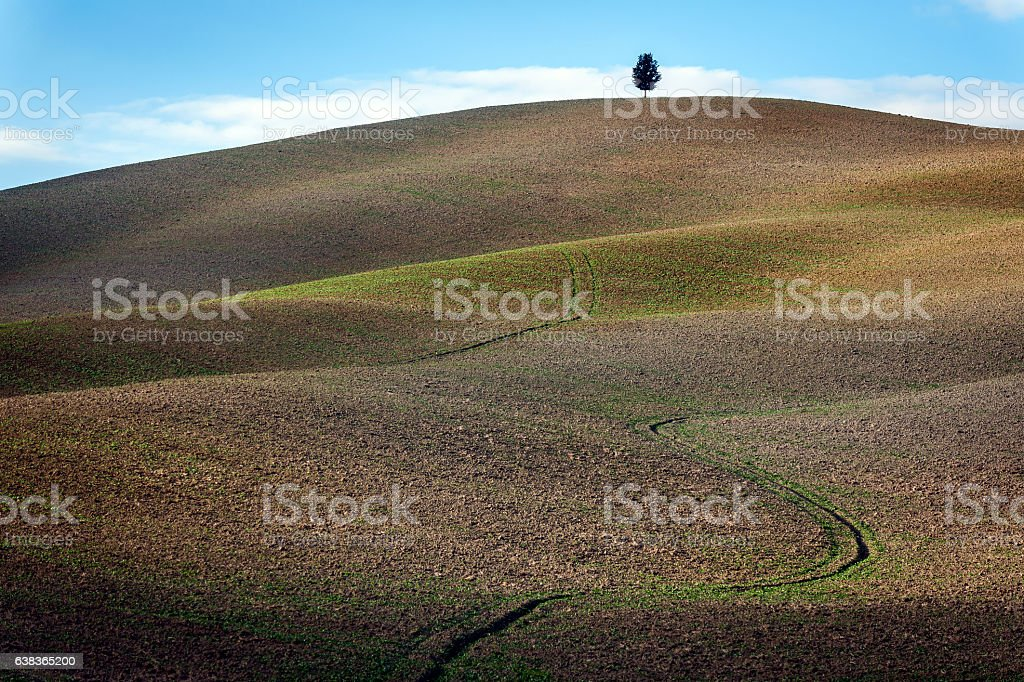Fields of Ripe Wheat at Tuscany,cypress, Italy stock photo
